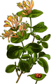 Wayside and woodland blossoms-0073-031-Lonicera caprifolium-crop.png