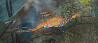 A photograph of Weedy Seadragon en