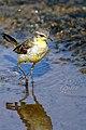 Western Yellow Wagtail (Motacilla flava). മഞ്ഞവാലുകുലുക്കി. (32118063423).jpg