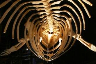 Húsavík Whale Museum - Whale skeleton