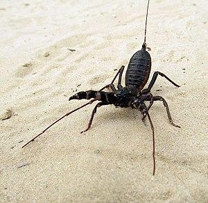 Thelyphonida - whip scorpion-Florida