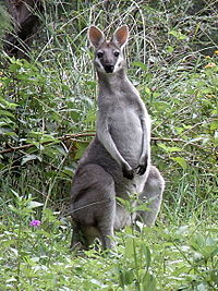Whiptail Wallaby Front.JPG