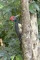 White-bellied Woodpecker - Baluran NP - East Java MG 8564 (29809205275).jpg
