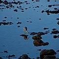 White-faced heron in tidal pool Shorncliffe Bramble Bay Queensland IMGP4315.jpg