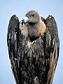 White-rumped vulture (Gyps bengalensis) Photograph by Shantanu Kuveskar.jpg