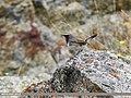 White-tailed Rubythroat (Luscinia pectoralis) (26510406779).jpg