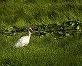 White Ibis Aransas Nwr Texas (30051625).jpeg