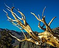 White Mtns Ancient Bristlecone Pines Park - spectacular just before sunset colours at 3300 m (11226350725).jpg