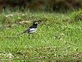 White Wagtail (Motacilla alba) (36197502511).jpg