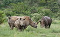 White rhinoceros or square-lipped rhinoceros, Ceratotherium simum. Note that in some of these photos there are a female with a calf, and a male that seems to have been challenging the calf. (16717337094).jpg