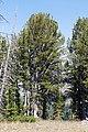 Whitebark pine trees (20552385475).jpg