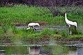 Whooping Crane Family (28557633386).jpg