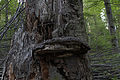 Wien-Hietzing - Naturdenkmal 478 - Urwald am Johannser Kogel - Baumschwamm.jpg