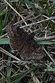 Wild Indigo Duskywing (Erynnis baptisiae) - Guelph, Ontario.jpg