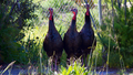Wild Turkeys (7243650100).png