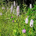Wild orchids by the A350 - geograph.org.uk - 1374455.jpg