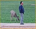 Wildlife, Zion Lodge, Mule Deer 4-30-14 (14520075192).jpg