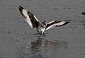 Willet, Tringa semipalmata, Moss Landing and Monterey area, California, USA. (30919424245).jpg