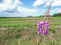 Willowherb (14386109927).jpg