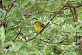 Wilsons Warbler (Wilsonia pusilla) (5055805922).jpg