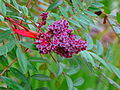 Winged Sumac Berries.jpg