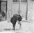 Witstaartgnoe of zwart wildebeest geboren in Artis, Bestanddeelnr 914-1205.jpg