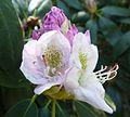 Wojslawice arboretum (Rhododendron Catawbiense) (2).JPG