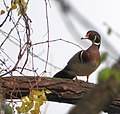 Wood Duck in the Point Pelee National Park, Leamington, ON.jpg