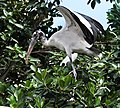 Wood Stork at Indian River Lagoon, New Smyrna Beach, Florida - Flickr - Andrea Westmoreland.jpg
