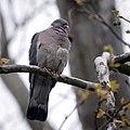 Wood pigeon (26578078632).jpg