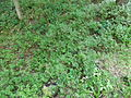 Woodlot NW of Kornilovo - whortleberries - DSCF5603.JPG