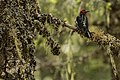 Woodpecker (14412475959).jpg
