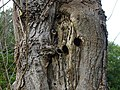 Woodpecker holes - geograph.org.uk - 266108.jpg