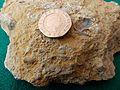 Wrens Nest Fossils 3.jpg