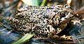 Wyoming Toad.jpg