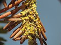 Xanthoria parietina 107659730.jpg