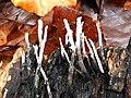 Xylaria hypoxylon 105901218.jpg