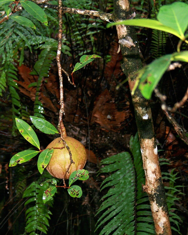 Xylocarpus Wikipedia