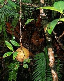 Xylocarpus granatum.jpg