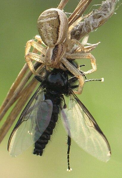 Dva články potravového reťazca - pavúk a jeho korisť