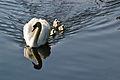 Y por fin los cisnes - Senda do Lérez (Pontevedra).jpg