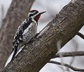 Yellow-bellied Sapsucker (34090209992).jpg