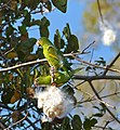 Yellow-chevroned Parakeets (Brotogeris chiriri) eating seeds of Kapok Tree (Pseudobombax tomentosum) (30968853763).jpg