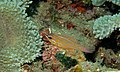 Yellow-striped Cardinalfish (Apogon cyanosoma) (6059472678).jpg