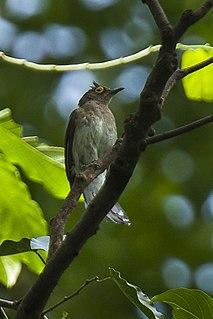 Yellow-wattled bulbul species of bird