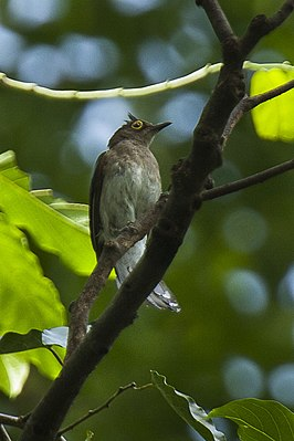 Yellow-wattled Bulbul - Philippines H8O8980 (16431894223).jpg