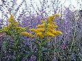 Yellow and purple haze (940680460).jpg
