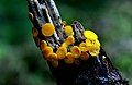Yellow fairy cups or lemon discos. (13595653063).jpg