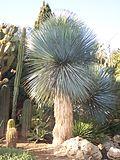Yucca rostrata.jpg