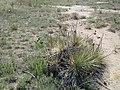 Yuccalicious - panoramio.jpg